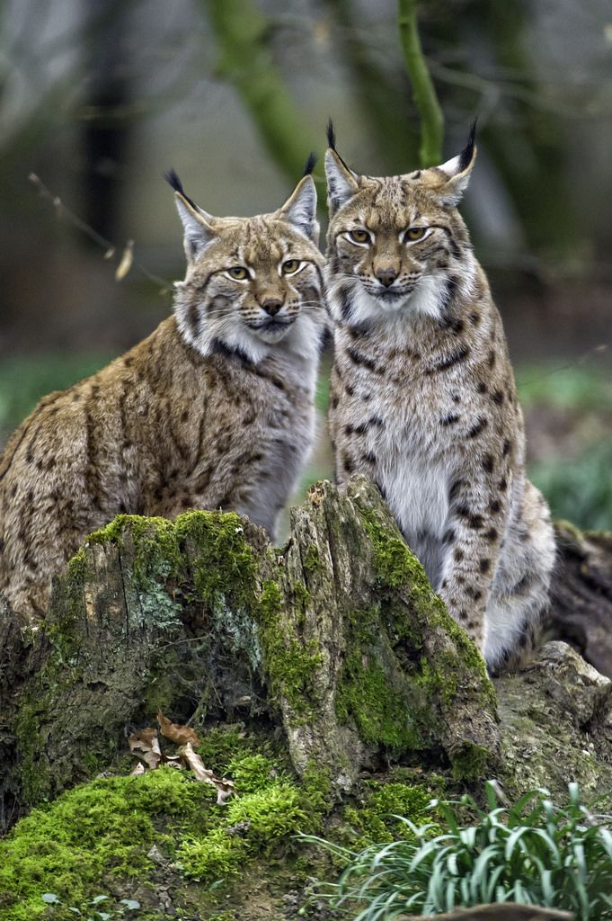 Lynx couple posing by Tambako the Jaguar The male and