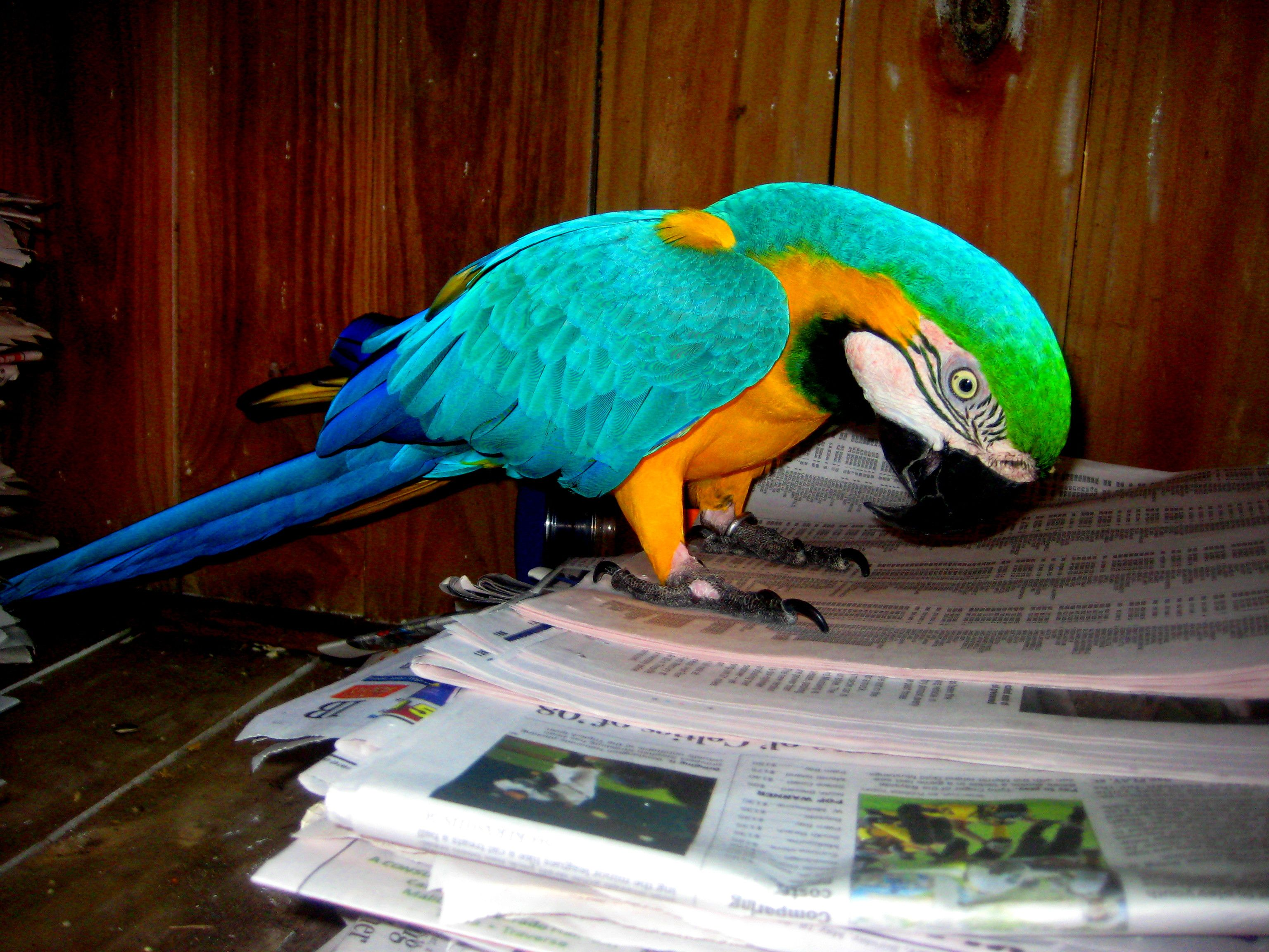 Macaw Reading The Newspaper At M A R S Melbournebeach Florida Parrot Rescue Adoption Nonprofit Marsparrots Birds Animals Cute Macaw Parrot Avian