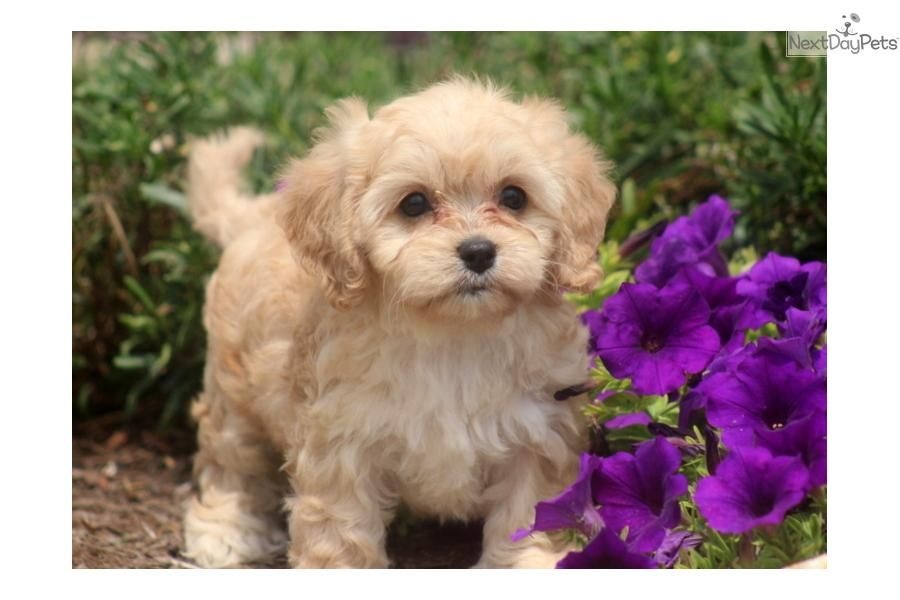 You'll love this Female Cavapoo puppy looking for a new