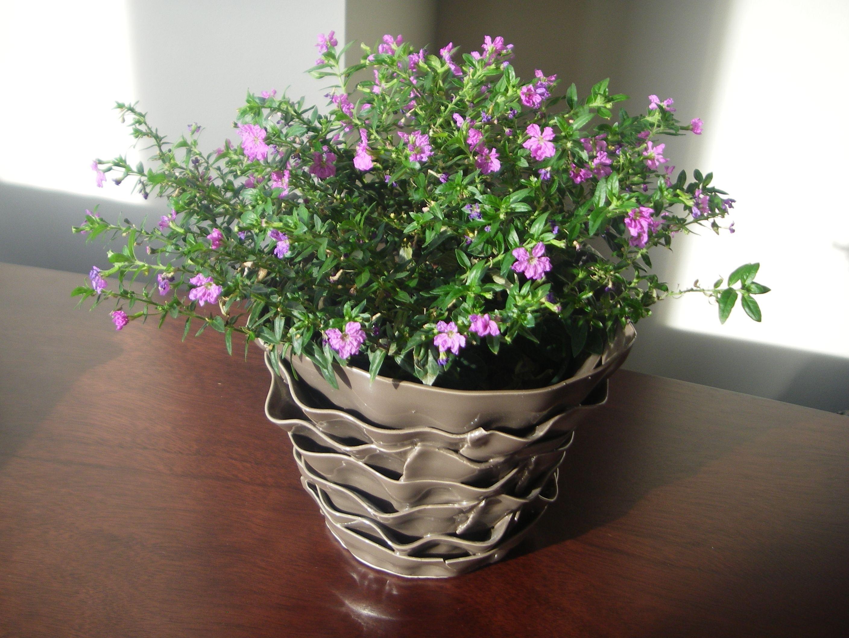 Mexican Heather Edible Plants Vegtable Garden Indoor Garden