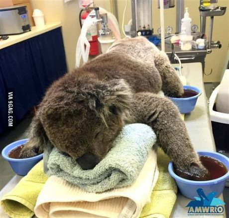 THE IMPACT OF BUSHFIRES ON FAUNA. This is Jeremy the koala. He was rescued from bushfires in South Australia and is recovering well from his injuries. Let the children know that our fauna is important and we must care for all living things in our environment. Educate the children on how things we do can either have a negative or a positive impact on our environment. Children will learn compassion through looking at photos of the injured fauna. (MJ)