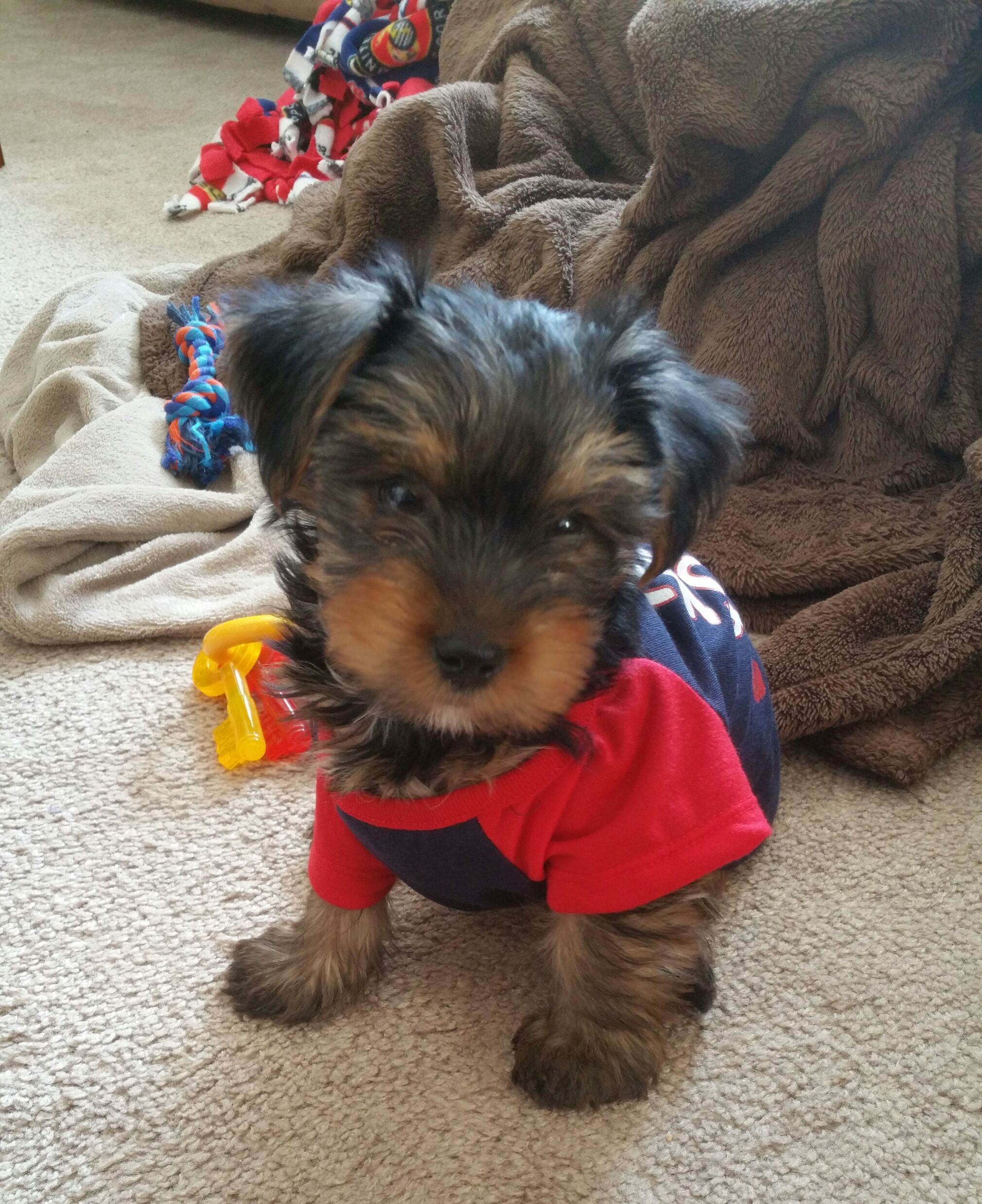 Pin by kelley on my yorkie kobe pinterest