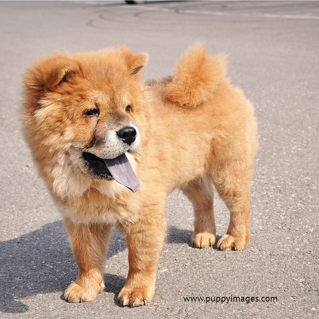 Sweet Little Chow Chow Puppy Dog Puppy Dog Images Chinese Dog