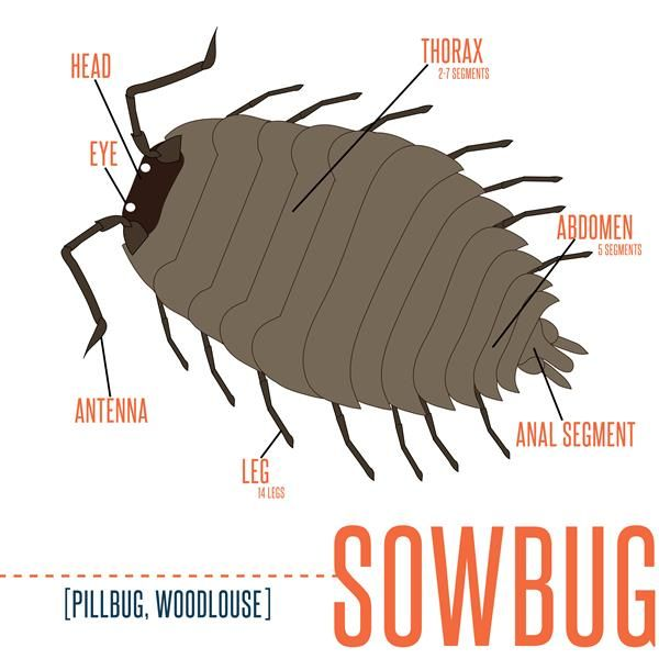 how to catch sow bugs