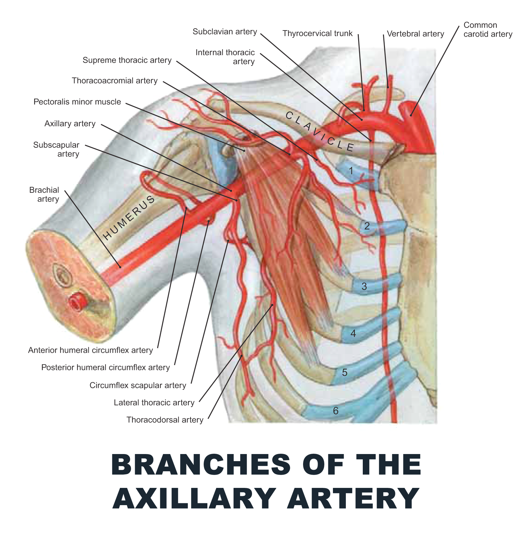 Branches Of The Axillary Artery Anatomy Images Illustrations