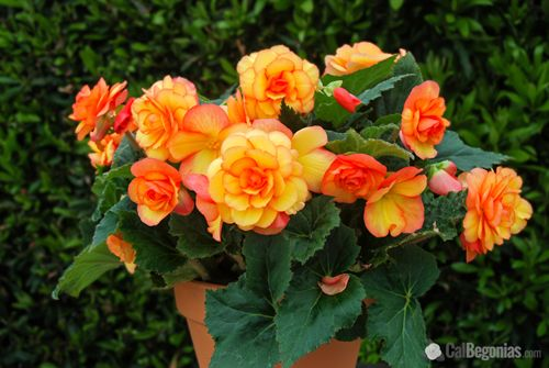 Award Winning Seo Web Design Company Mannix Marketing Tuberous Begonia Plants Flower Pots
