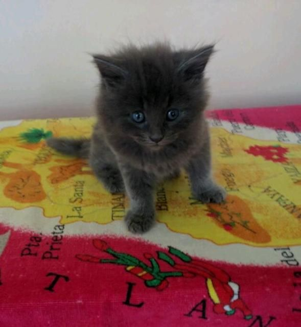 Kittens For Sale On Gumtree 4 Kittens For Sale 50 Each 2 Black 2 Grey 3 Females 1 Male Male Is Black Born Kitten For Sale Kittens Cat Toilet Training
