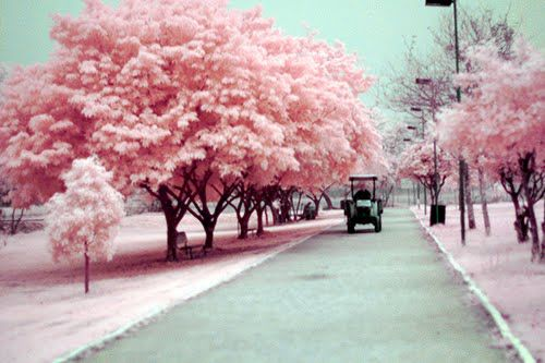 Cherry Blossoms Pink Trees Pretty In Pink Cherry Blossom Japan