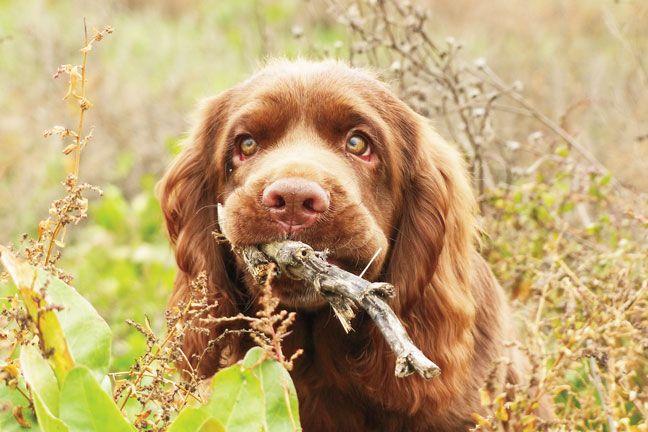 Breed Profile Sussex Spaniel Sussex Spaniel Bird Dogs Breeds