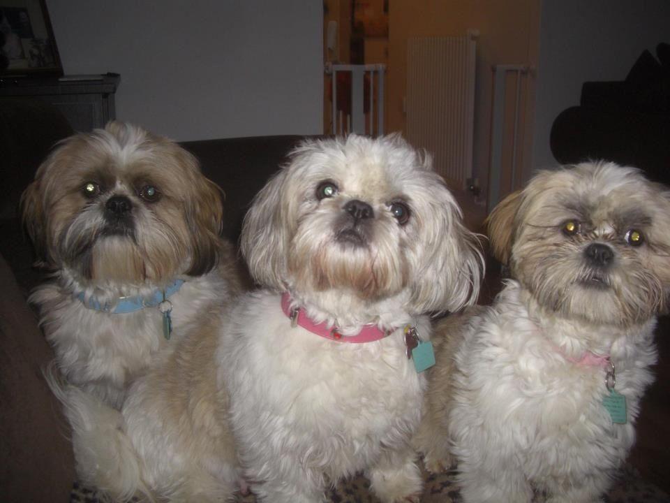 Daisy Shih Tzu Bichon Cross Pawshake With Images Dogs Mans