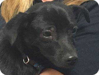 Chihuahua Mix Puppy For Adoption In Natchitoches Louisiana Mickey