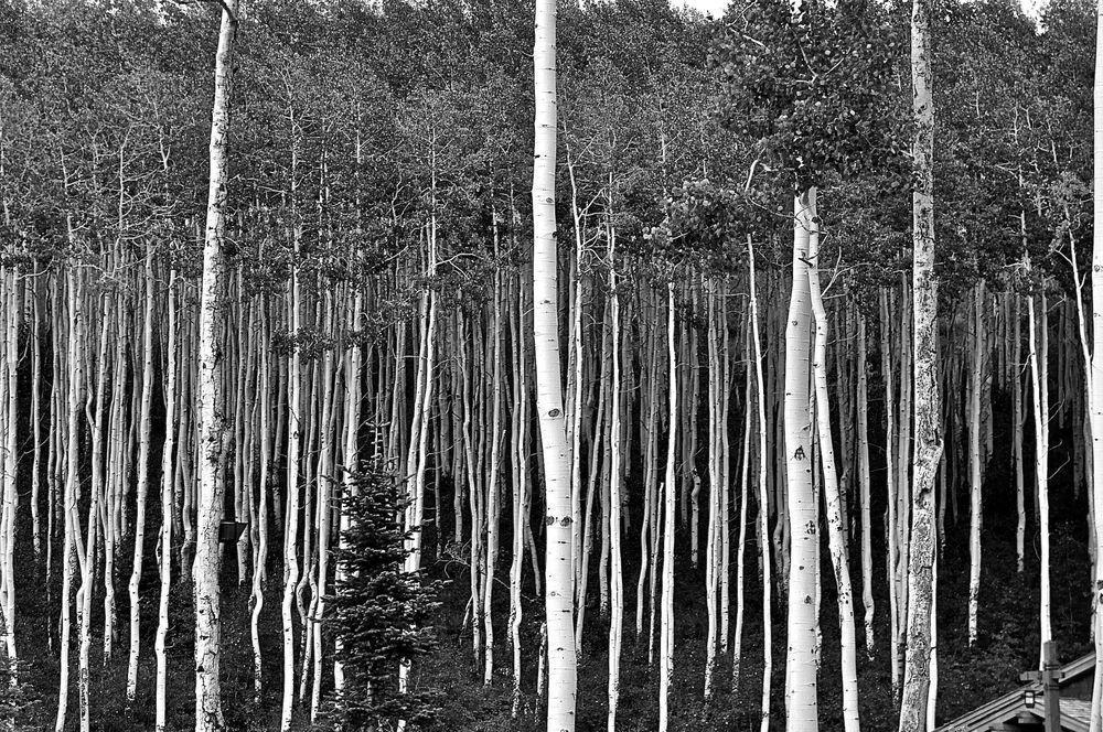 Colégio de Comissários Desportivos Mountains Foto por Karen Swift - National Geographic    No Colorado, as árvores de Aspen criar imagens para os nossos olhos, música para os nossos ouvidos e textura para o nosso toque. Todas estas árvores são um, sugerindo uma lição que nós humanos podemos aprender. Eles vivem como um, cada desenho força das raízes.