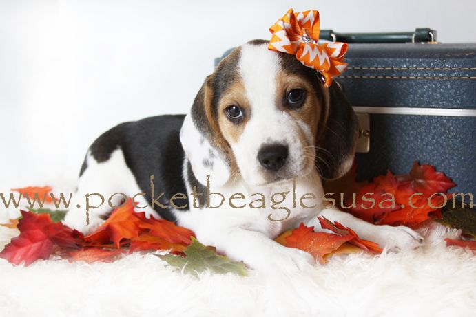 Perfect Puppy Love To No End Silver Pocket Beagle Pocket