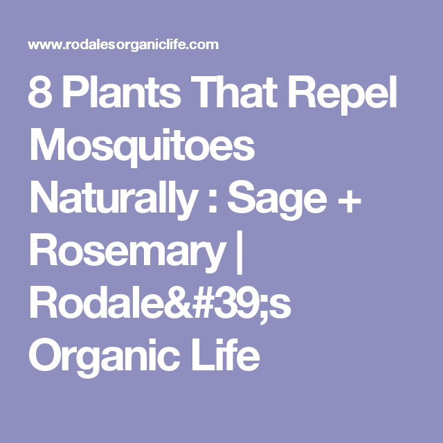 8 Plants That Repel Mosquitoes Naturally : Sage + Rosemary | Rodale's Organic Life