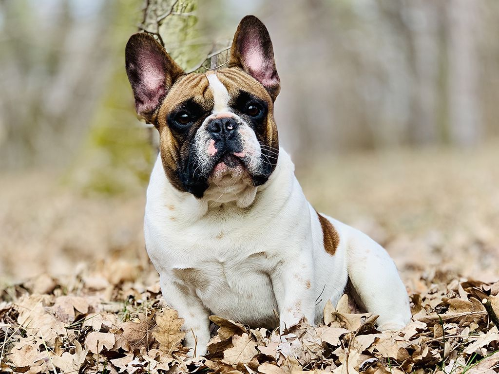 French Bulldog For Sale Purchase A French Bulldog Puppy Bulldog Breeds French Bulldog Puppies Bulldog Puppies