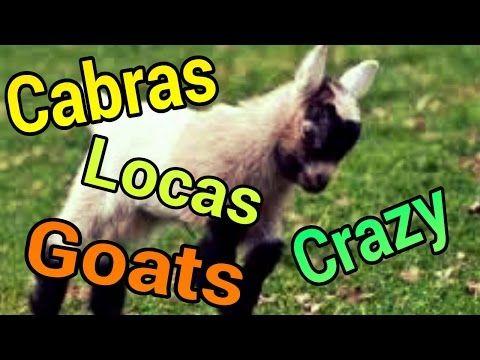 Cabras gritando como humanos #1 - YouTube