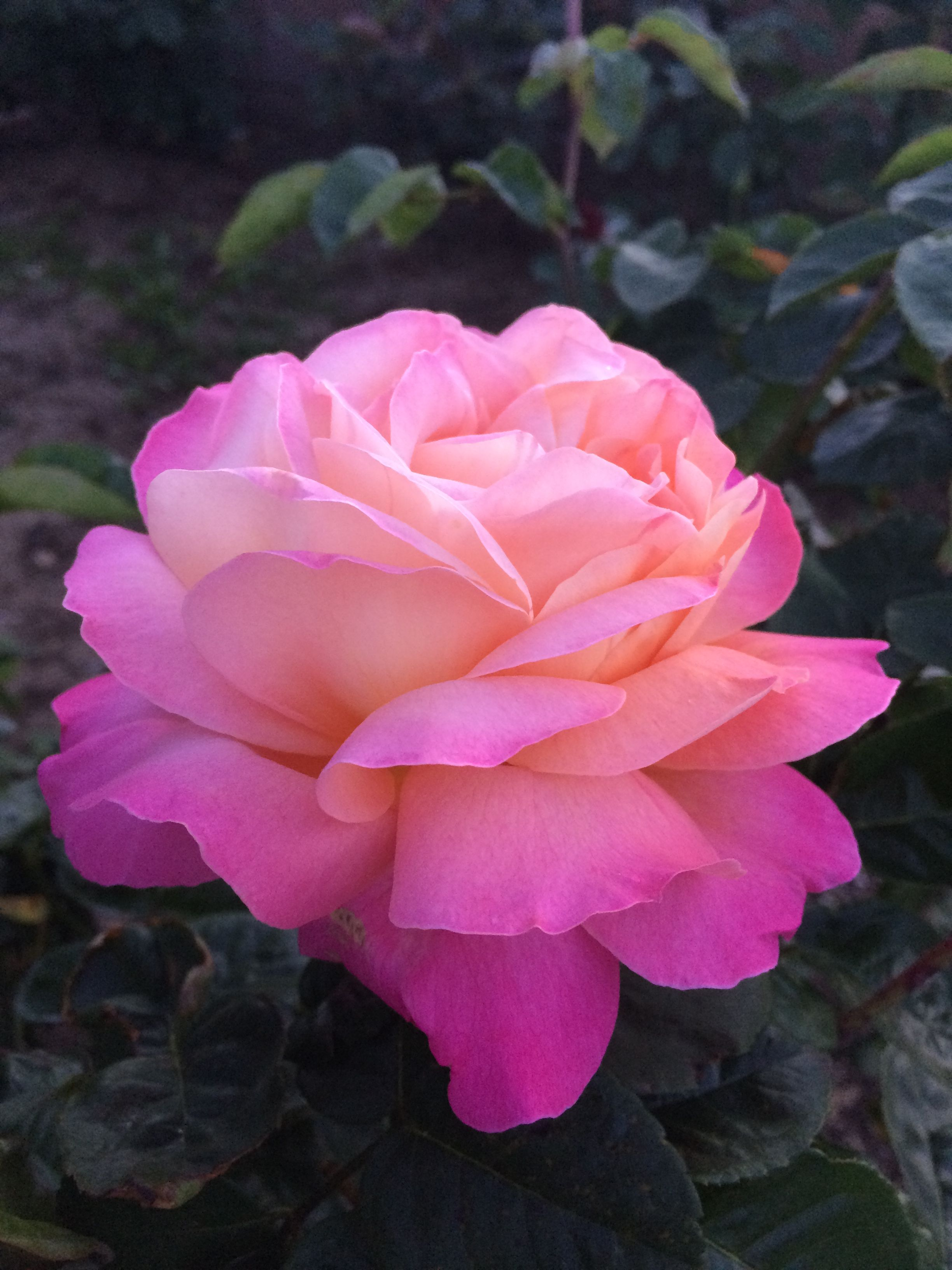 This rose starts as a pink color rose and in a few days turns yellow this rose starts as a pink color rose and in a few days turns yellow izmirmasajfo