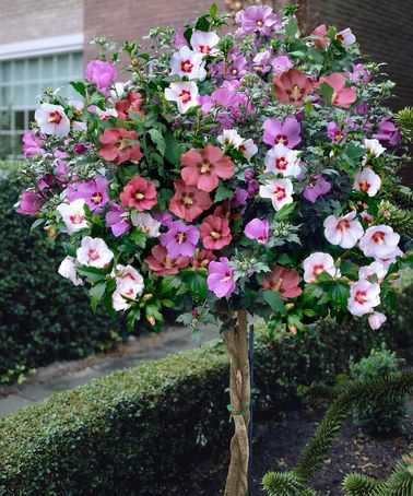 Rose Of Sharon Braided Tree By Cottage Farms Direct On Zulily Rose Of Sharon Tree Hibiscus Tree Flowering Trees