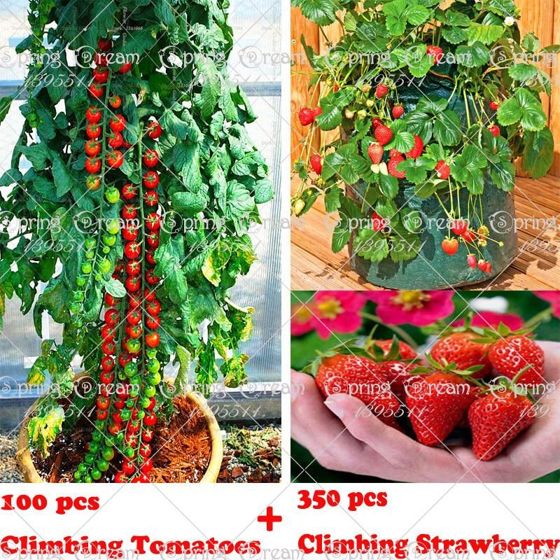 100 Climbing Tomato Tree Seeds And 300 Quality Climbing 400 x 300