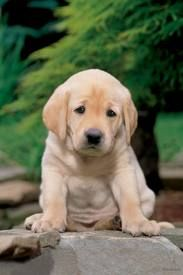 I Will Always Love Yellow Labs Best Dog Ever Labrador Puppy