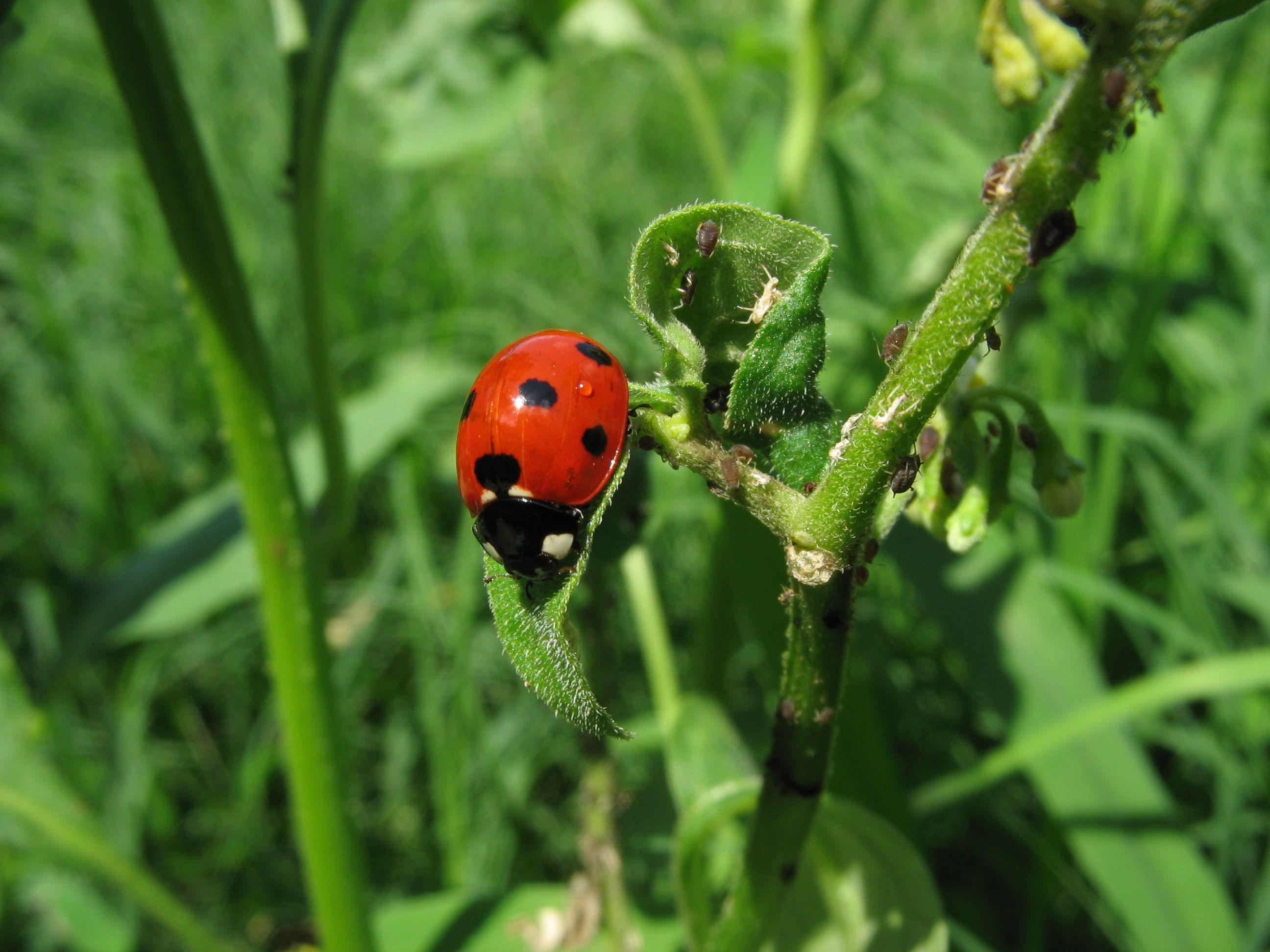 Ladybugs Garden Pests Plants