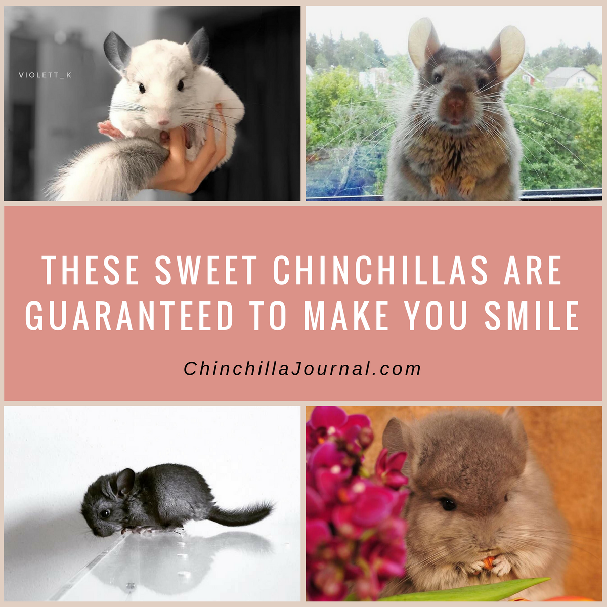These Sweet Chinchillas Are Guaranteed To Make You Smile Chinchillas - 29 adorable animals that will leave you smiling for the rest of the day