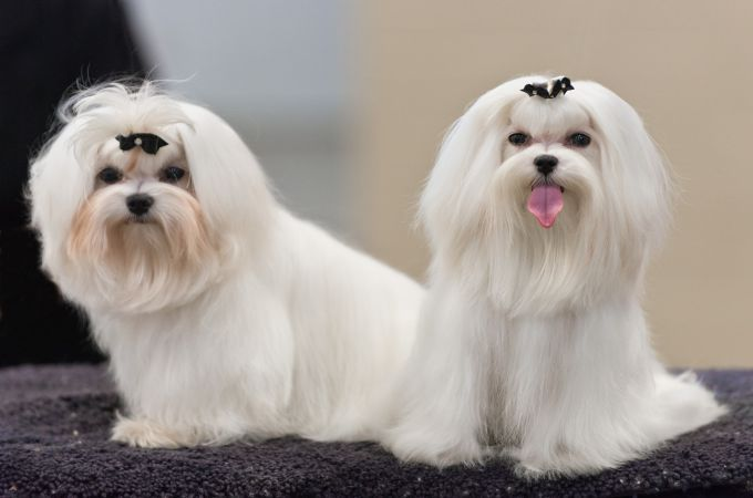 Teacup Maltese Quick Facts About The Adorable Designer Dog Breed