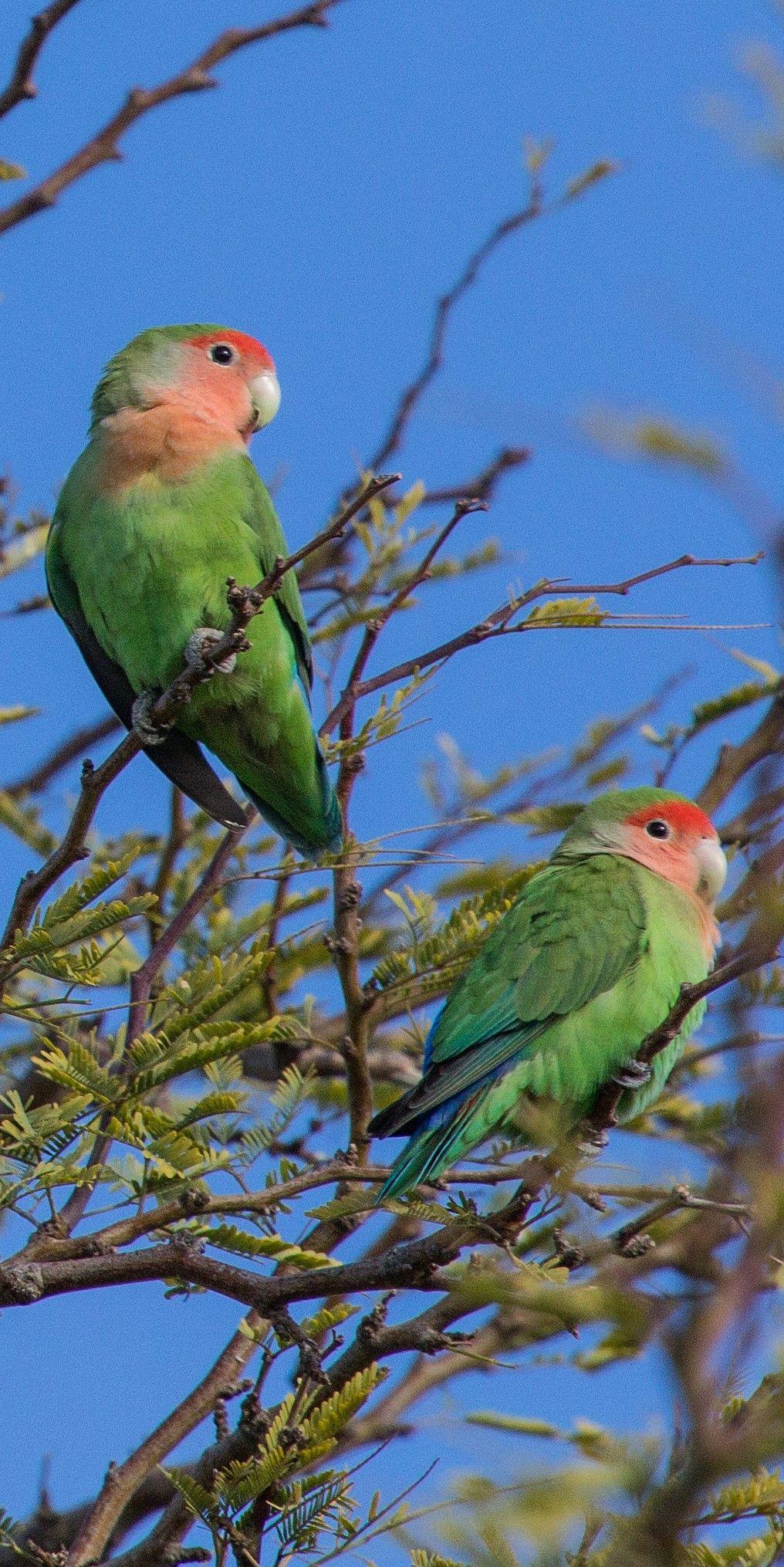 Inseparable De Namibia Rosy Faced Lovebird Rosenkopfchen Inseparable Rosegorge