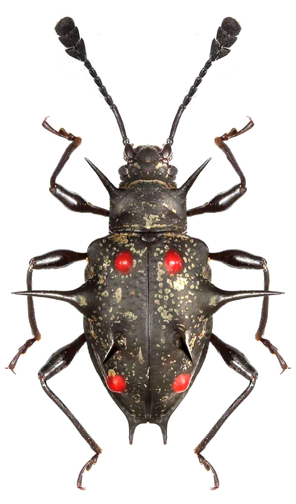 Cacodaemon spinosus I Heart Arthropods Pinterest