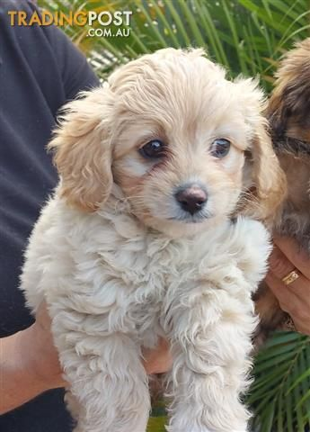 Cavalier x Toy Poodle puppies at Puppy Pad for sale in