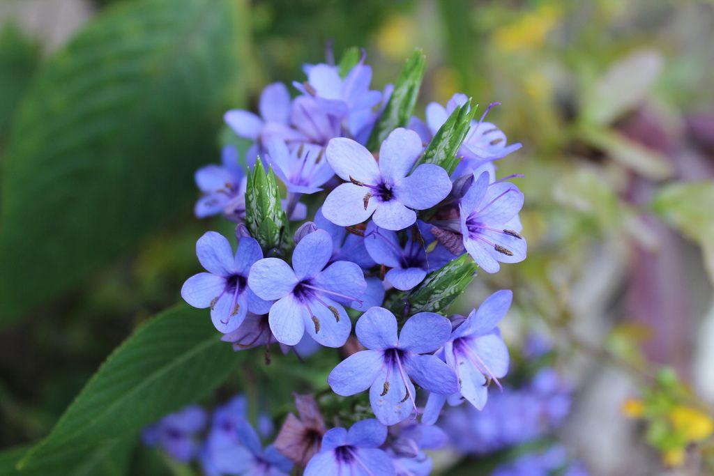 Eranthemum pulchellum Flowering trees, Flowers, Amazing