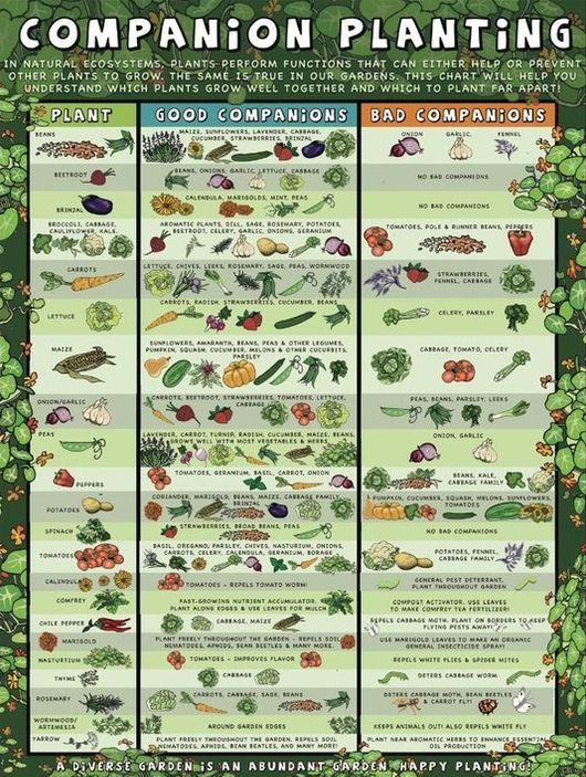 Companion Planting Chart : Find Your Crop In The Left Column Then Look To  Find Good Companions And Bad Companions. (Link Is Bad, But Chart Is  Readable)