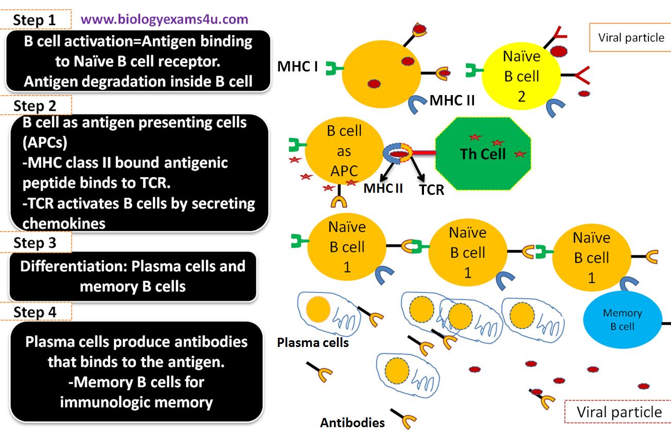 mechanism of apc (antigen presenting cells)- immunology | biology