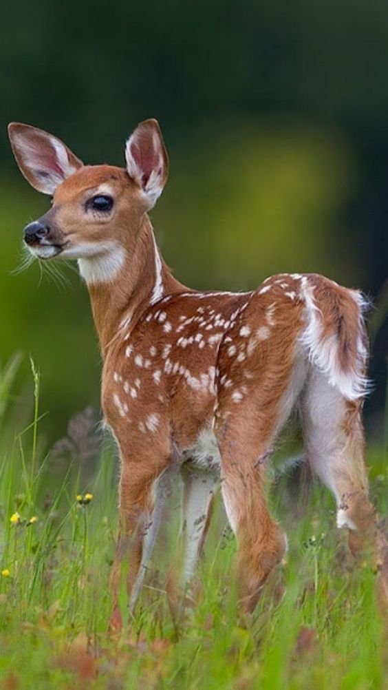 10 Most Beautiful Deer Photos That Will Inspire You | Deer photos, Animals  beautiful, Baby animal drawings