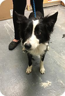 Pin by Crafty Fox on Border Collie mixes | Border collie mix