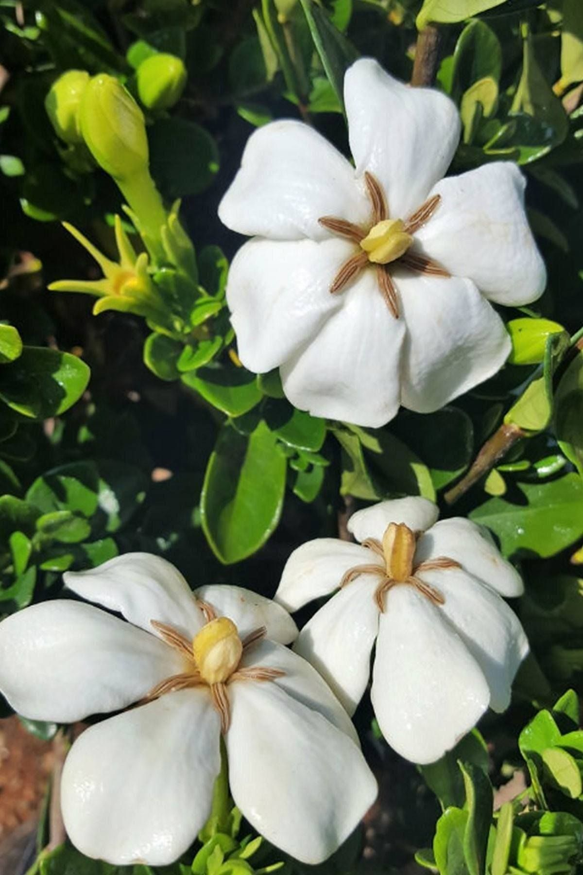 Buy Hardy Daisy Gardenia Bush Hedge Green Foliage White