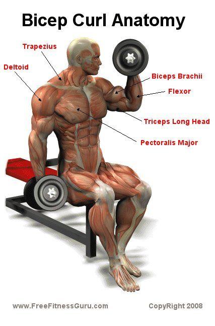 bíceps anatomía rizo | Exercise Training Biceps Ejercicios ...