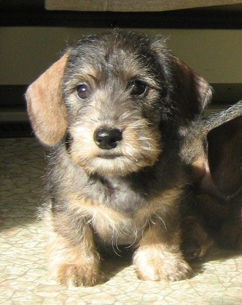 So Cute Myanka Kennels Wire Haired Dachshund Pet Dogs Baby