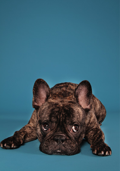 Frenchie Those Eyes Those Eyes Cute Animals Animals French Bulldog