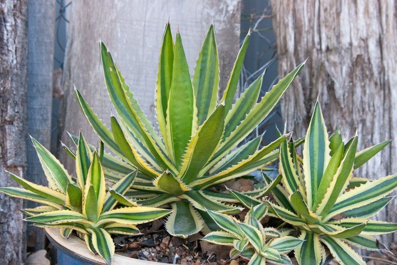 This Variegated Dwarf Agave Is So Beautiful That It Is Nearly