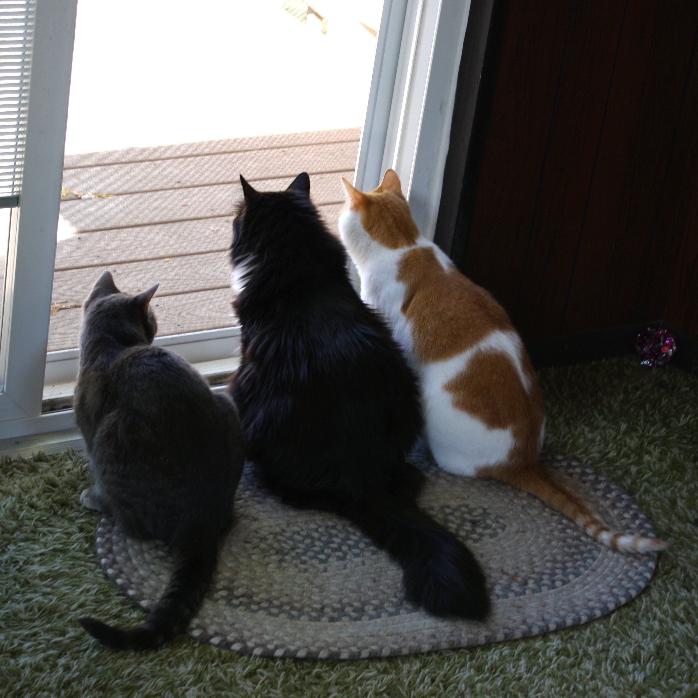 Three Cats Looking Out Back Door