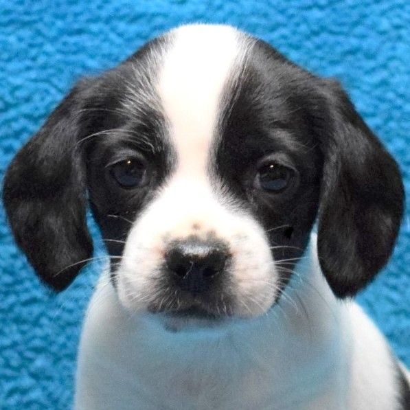 Beagle Puppy For Sale In Chattanooga Tn Adn 39697 On Puppyfinder