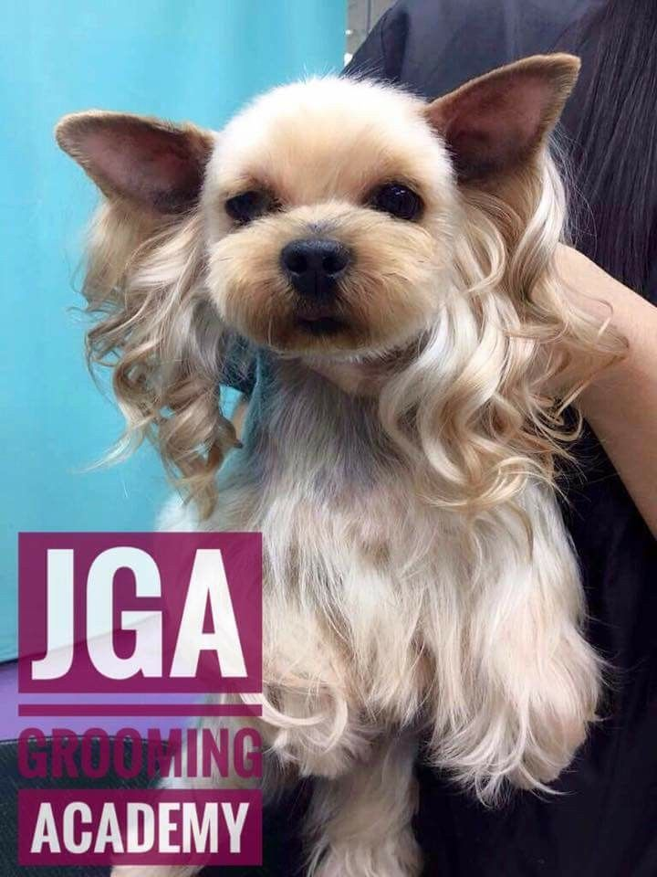 Yorkie Tbh With Ear Curls Dog Grooming Pinterest Dog Grooming