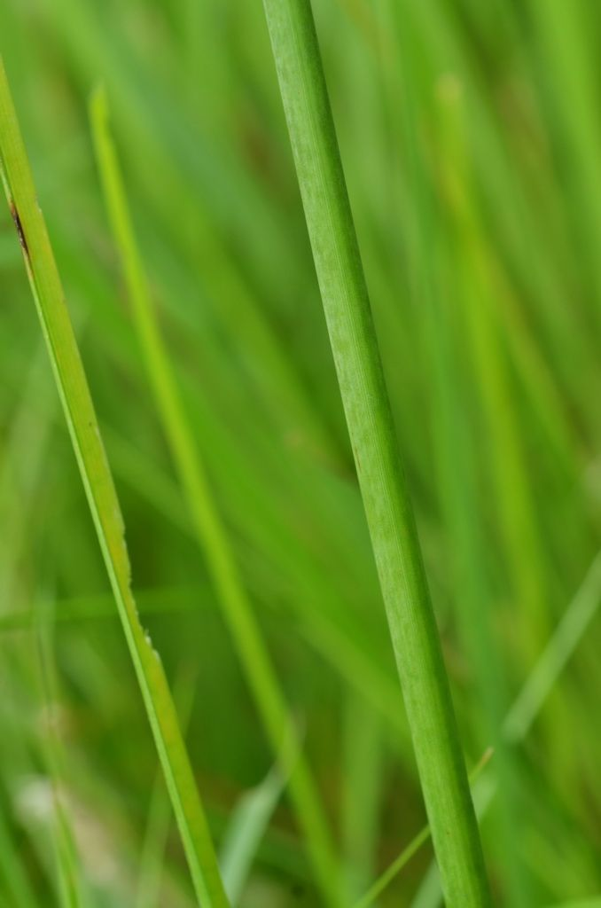 Mariscus compactus (Retz.) Druce, 1917 密穗磚子苗 | 台灣生物多樣性資訊入口網