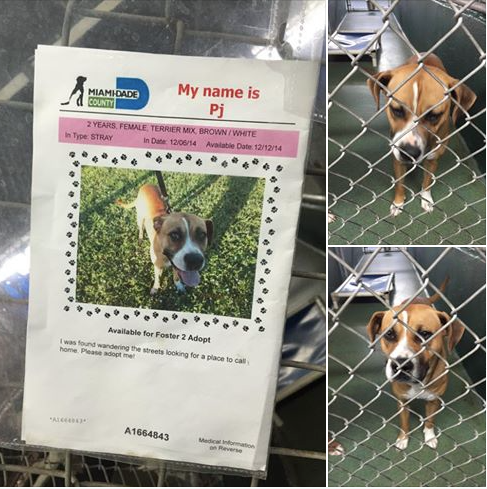 SAFE --- LAST CALL! LAST CALL! LAST CALL!    Pj 2 yo br/wh terrier mix girl.#A1664843. Calm, friendly. Sharing a kennel run in the N kennels. Due out 12/12 at MDAS — hier: Miami Dade County Animal Services. https://www.facebook.com/urgentdogsofmiami/photos/pb.191859757515102.-2207520000.1418404031./887906847910386/?type=3&theater