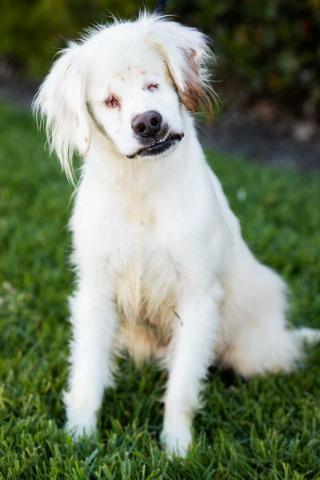 Adopt Lucas On Petfinder In 2020 Help Homeless Pets Homeless Pets Springer Spaniel