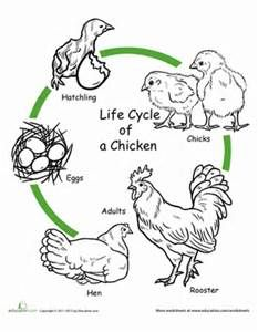 chicken life cycle worksheet coloring page education
