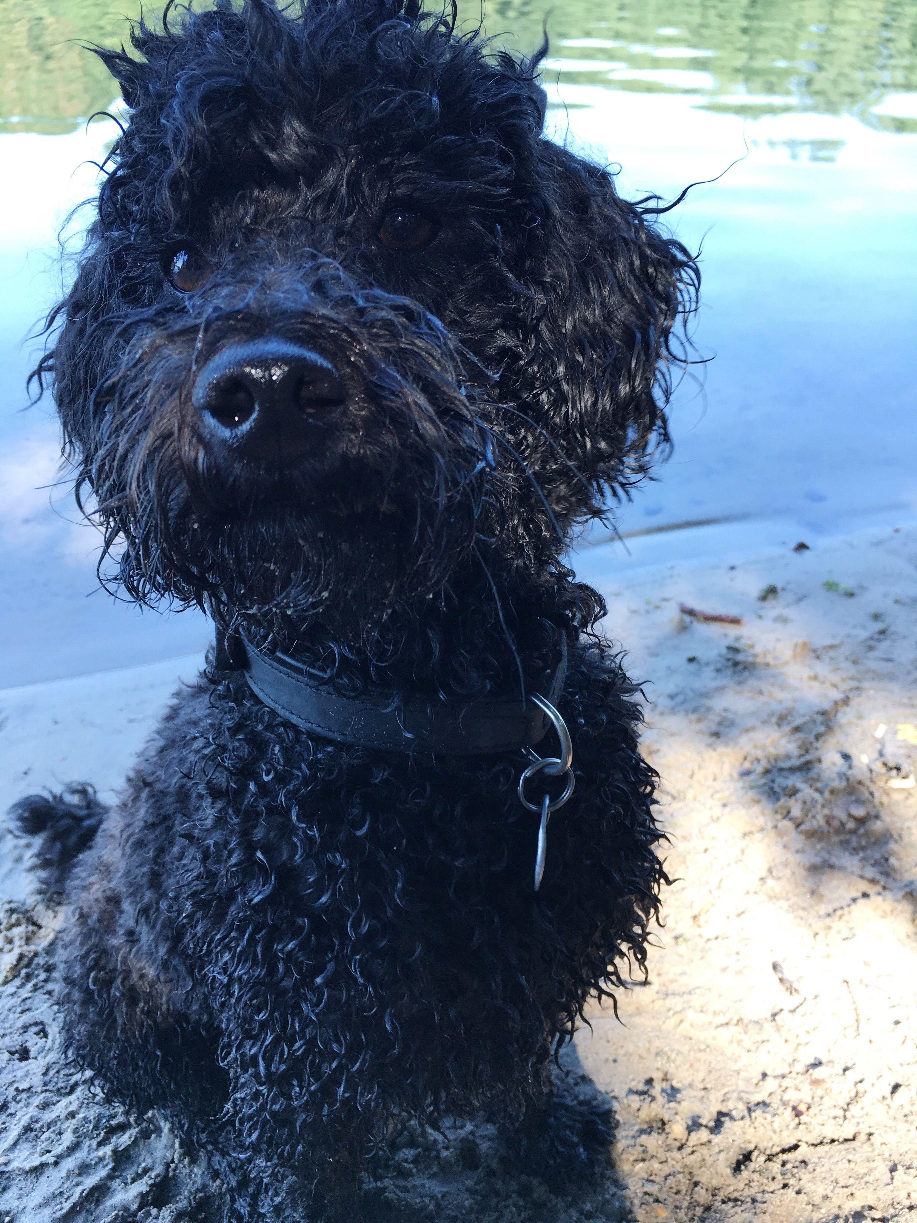 Pack Die Badehose Ein Oder Lieber Doch Nicht Pudelwohl Berlin Pudel Gesunde Hunde Hunde
