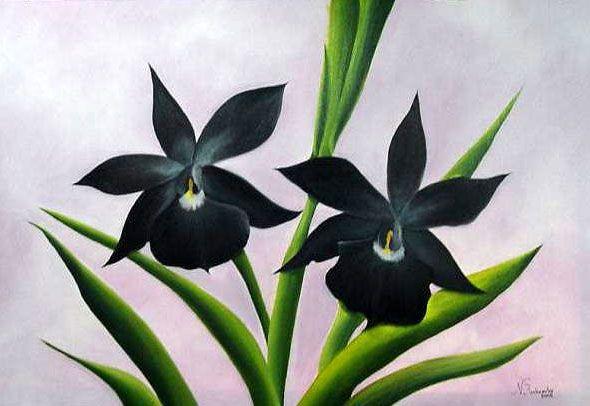 Orquidea Negra Flowers Pinterest Orquidea Negra Negro And Flores