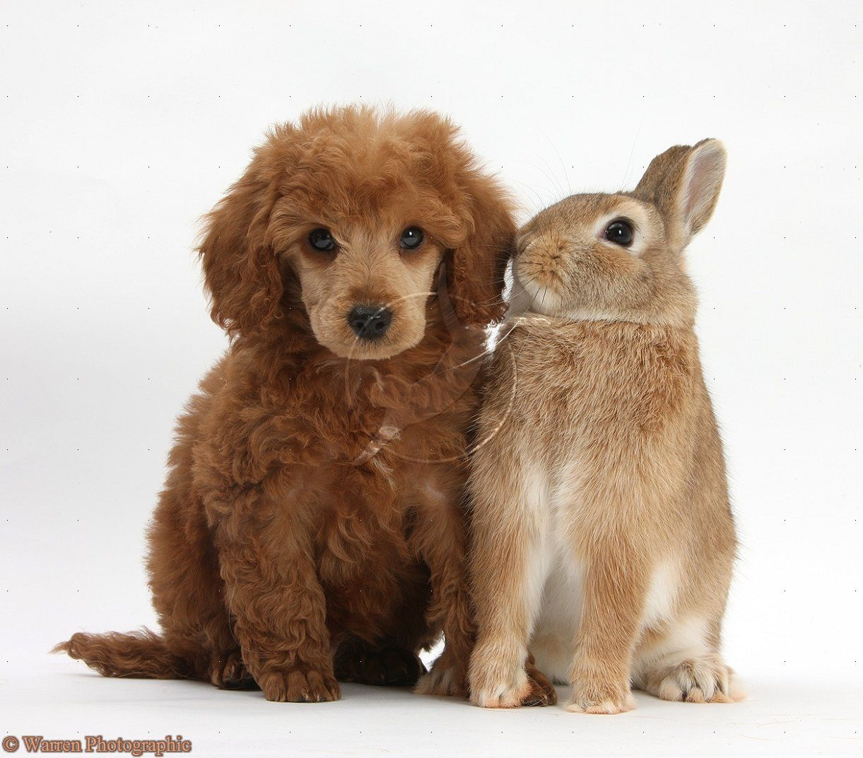 Photographs Of Miniture Poodles Miniature Poodle Pup And